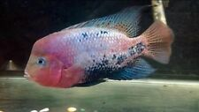 Red Head Synspilum Cichlid Live Freshwater Aquarium Fish