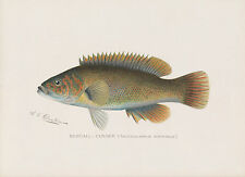 Bergall Cunner Fish Denton Chromolithograph Antique Print NY 1902 Signed