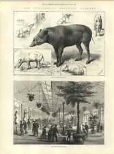 1883 New Reptile House At The Zoo Babiruossa Family Saint Germain Damage