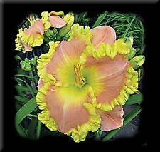 Daylily Seeds (Elvis x Castle Rock) (6) Seeds