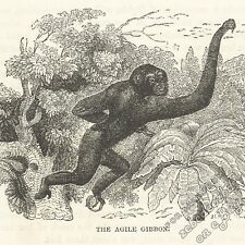 Gibbon Agility: antique 1866 engraving print: primate ape picture nature drawing