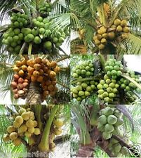 Hybrid Dwarf 6 Variety Coconut Plant pack DxT, Malayan - 6  Healthy Live Plants
