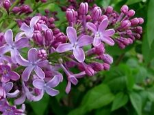 30 Syringa oblata Early Lilac Shrub S-F 32 Tree Seeds Bonsai Seeds