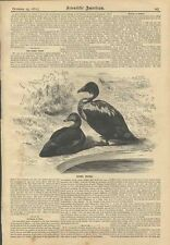 1881 Eider Duck Illustrated Engraving Scientific American Somateria Mollissima