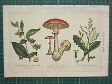 1890 impresión ~ común plantas venenosas Deadly Nightshade Lechuga Fly Amanita