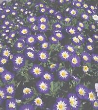 Convolvulus Ensign Series Royal Blue Annual Seeds