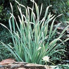 VARIEGATED CATTAIL SEEDS - Typha latifolia variegata