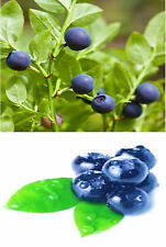 10 Heirloom Billberry Seeds -Vaccinium myrtillus