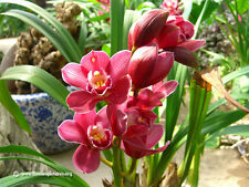 Fresco, RARA 15pcs cinesi cymbidium orchidea BALCONE SEMI * UK Venditore *