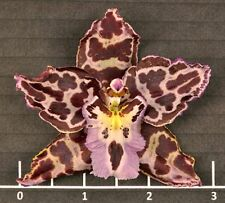 """ASPASIUM ANGEL BABY 'SULTRY' ONCIDIUM TYPE ORCHID PLANT SHIPPED IN 3""""POT"""
