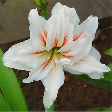 FD4533 Hippeastrum Striatum Seeds Amaryllis Flower Plant Seeds Elegant 10PCs♫