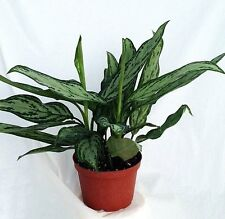 "Silver Queen - Plant - Aglaonema - Low Light - 6"" Pot"