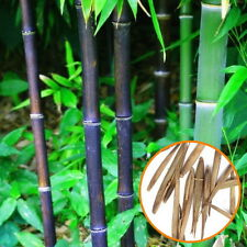 20 Black Pubescens Bamboo Seeds Phyllostachys Pubescens Home Garden Plant XW