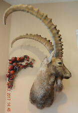 Ibex Taxidermy left turn Shoulder head Mounted Mount Stuffed