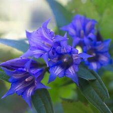Schwalbenwurz-Enzian•30+ Samen/seeds•Gentiana asclepiadea•winterhart