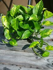 ☆Golden Queen Pothos Vine ☆Epipremnum ☆Devil's Ivy Money Snake Plant ☆ 1 CUTTING