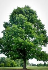 25 White Oak Tree Liners LIVE 2-3 Feet tall READY TO PLANT