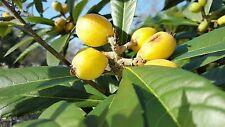 1 - LOQUAT TREES FLORIDA GROWN AND RAISED 3 to 8 Inch TALL- COLD HARDY TO 10*