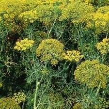 Herb Seeds - Dill Fernleaf - 100 Seeds