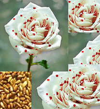 200pcs Beautiful White Drop Blood Rose Seeds Home Garden Flower Plant Seed HL76