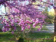 Eastern Redbud Tree - Healthy Bare Root Plant - Colors - 2 pack with Bonus