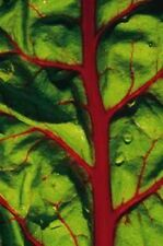 300 RUBY RED SWISS CHARD Beta Vulgaris Seeds *Comb S/H