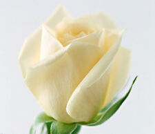 100 White Rare Rose Seeds Fresh Rose Seed For Lover