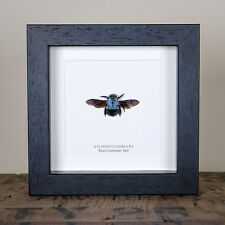 The Blue Carpenter Bee in Box Frame (Xylocopa caerulea)