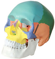 3 Parts Colored Anatomical Human Life Size Skull Medical Model High Quality XT