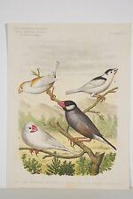 Estampe vers 1895 OISEAUX Manakins tachetés du Japon Paddas ou Calfats