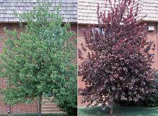 1 Red Choke Cherry Tree