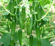 High Yield Green Cucumber SEDONA Seeds for Terrace Kitchen Gardening 15 Nos