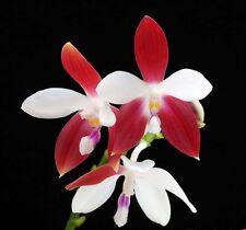 Phalaenopsis speciosa orchid