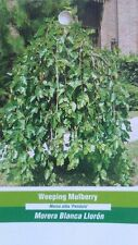 4'-5' Weeping Mulberry Tree live Healthy Plants easy to grow plant trees Berry