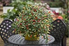 Vegetable - Capsicum - Chili Chilli Pepper - Basket of Fire - 10 Seeds