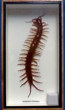 REAL EXOTIC HUGH 7 INCH BROWN CENTIPEDE MILLIPEDE TAXIDERMY FRAMED INSECT