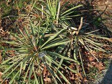 Yucca filifera - Giant Yucca - 15 Fresh Seeds