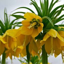 50pcs Yellow Imperial Crown Seeds Fritillaria imperialis Lutea Seeds Deco Graden