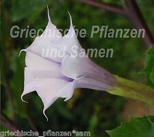 Datura ** lavender Lady 15 Samen **Engelstrompete** Blüte flieder Duftpflanze