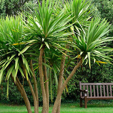 Cordyline australis . . . CABBAGE PALM TREE . . . Torbay . . . 20 Seeds . . . EZ