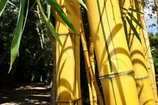 Big Bamboo / Giant Bamboo / Bambusa 100 Seeds
