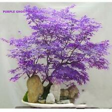 30pcs Rare Purple Japanese Maple Bonsai Tree Seeds Potted Plant Atropurpureum