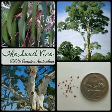 10 RIVER RED GUM TREE SEEDS (Eucalyptus camaldulensis) Australia Native