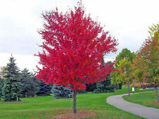 Maple Tree Seeds - RED MAPLE - Acer Rubrum - Site Tolerant Shade Tree - 10 Seeds