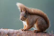 RARE RED SQUIRREL ON LOG IN SCOTLAND MOUNTED 10 x 8 PRINT