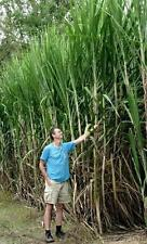100 Seeds SugarCane Easy Grow Tropical Grass 15 Feet Tall Stem Roots Towel Big