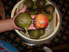 ORGANIC Fig Tree  Moroccan 3 X Cuttings Brown Large Red Flesh GROW YOUR OWN FIGS