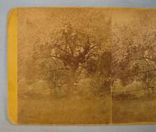 Stereoview Apple Trees In Bloom With Two Men Sitting In Tree Colored Antique (O)