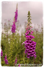 Digitalis Purpurea « común Dedalera » [ ex. Co.. Durham ] 2000 + Semillas