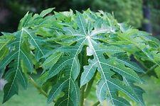 Fresh Papaya Leaves/Papaya Leaf(s) -1/4 Lb -  - Organic -Picked fresh to ship